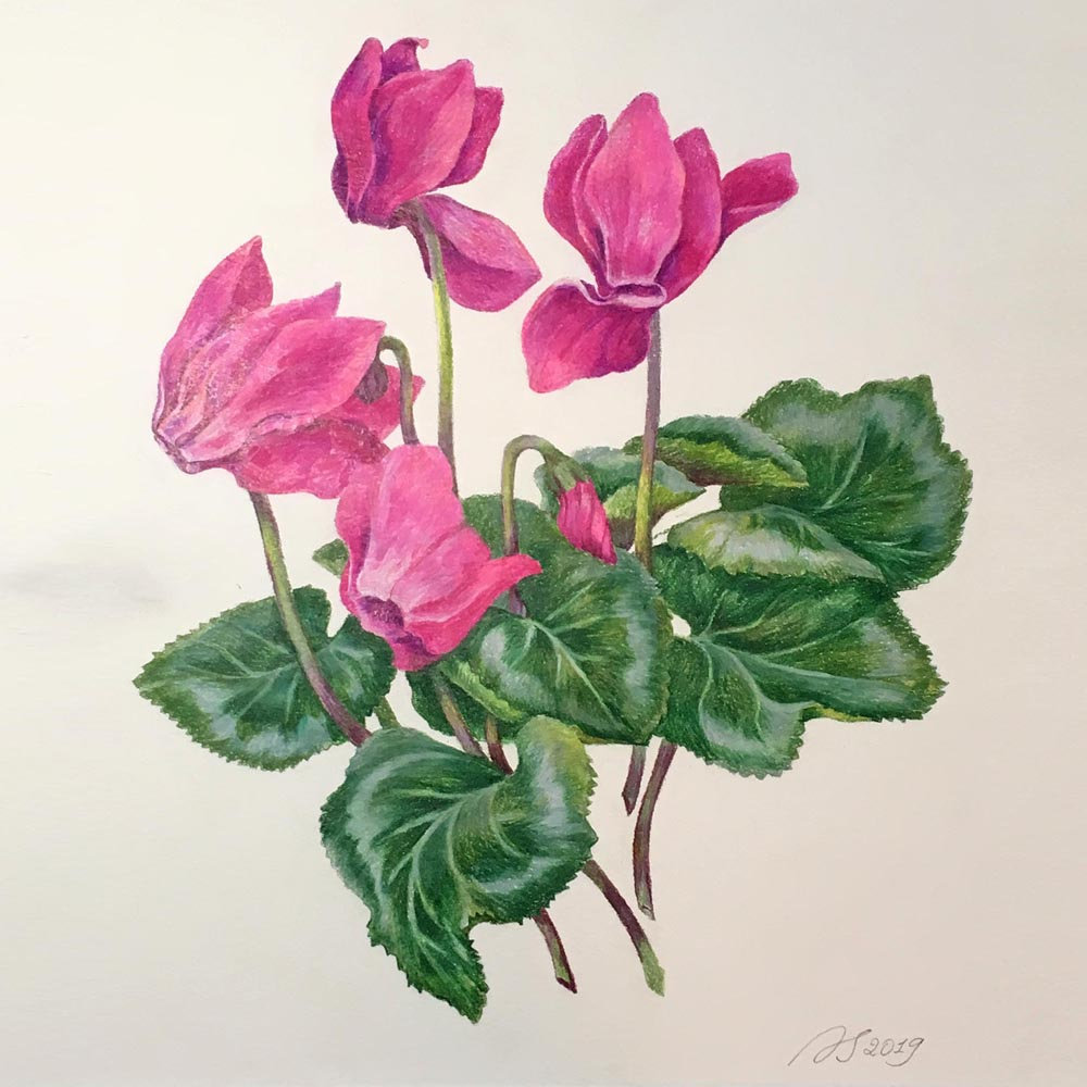 Cyclamens. 2109. Colored pencils on paper.