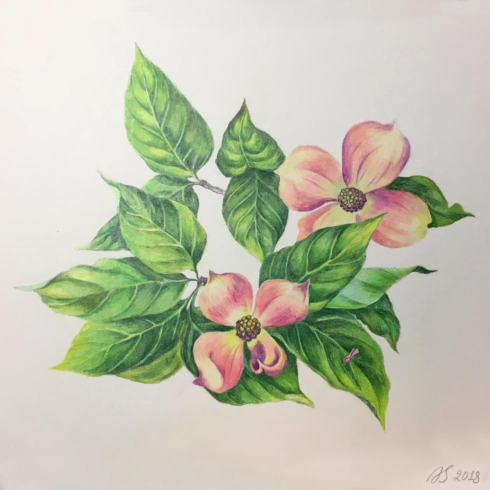 Flowering Dogwood Branch. 2018. Colored pencils on paper.