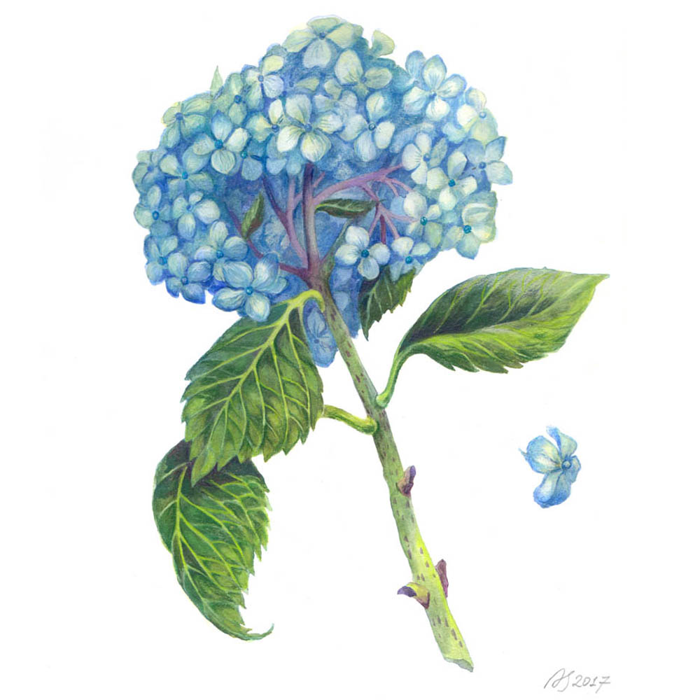 Blue Hydrangea, 2017. Watercolor and colored pencils on paper.